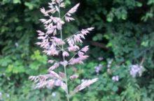 Bloeiende aar van de Gestreepte witbol