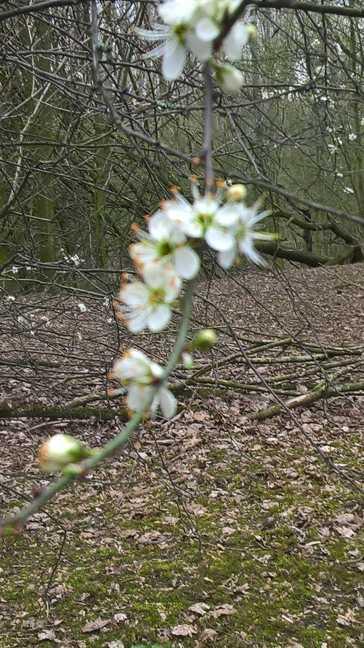 Een tak van de bloeiende Sleedoorn