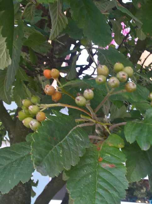 Vruchtdragende Meelbesboom