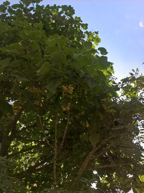 In de Selderstraat, draagt de Anna Palownaboom doosvruchten