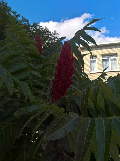 Bloem aan de Fluweelboom