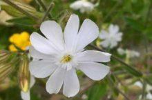 Een bloem van Avondkoekoeksbloem