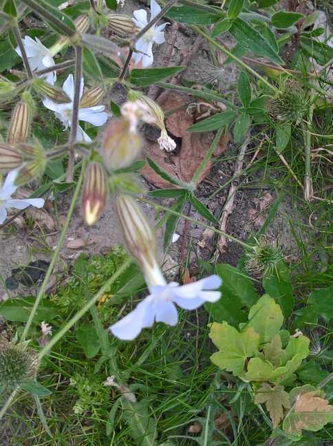 De mannelijke bloem van Avondkoekoeksbloem