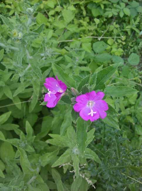 De bloem van het Harig wilgenroosje
