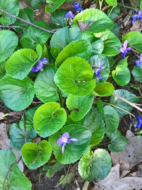 Het maarts viooltje