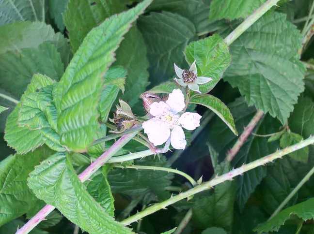 Een bloem van de Dauwbraam