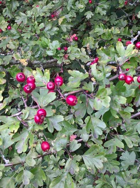 De rijpe vruchten van de Eenstijlige meidoorn